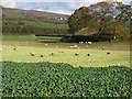 NY7763 : Sheep folded on root crops by Oliver Dixon