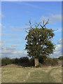 SK6335 : Declining oak tree by Alan Murray-Rust