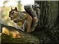 SJ9593 : Squirrel at Hyde Chapel (2) by David Dixon