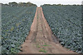 SK5754 : Cabbages and track by Alan Murray-Rust