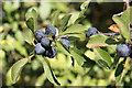 SK7847 : Sloes by Richard Croft
