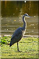 TQ2979 : Grey Heron in St.James's Park, London by Peter Trimming