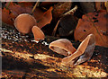 J4681 : Fungus, Crawfordsburn Country Park  (2011-12) by Albert Bridge
