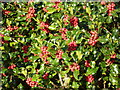 NT3372 : Holly berries on the Newhailes estate by kim traynor