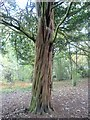 NT3272 : Yew tree on the Newhailes estate by kim traynor