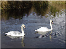 SO8991 : Swans in Baggeridge Country Park near Wombourne, Staffordshire by Roger  Kidd