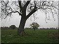 SJ6167 : Ash tree (?) in arable field beside Marton Hole by Dr Duncan Pepper