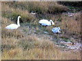 NH2438 : Whooper swan family, Glen Strathfarrar by sylvia duckworth