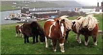 HU4039 : Shetland ponies by Scalloway fish pier by Robert W Watt