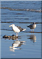 TA1280 : Gulls with carcass by Pauline E