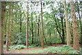 SU7926 : Conifers, Rake Hanger by N Chadwick