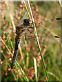 NH9108 : Dragonfly near Whitewell, Rothiemurchus by Phil Champion