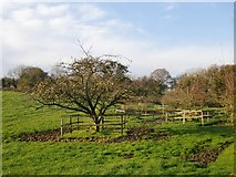 SU8315 : Fruit trees near Yew Tree Cottage (and a treat for the horses?) by Stefan Czapski