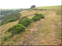 SX5746 : Coast path above East Cliff by Philip Halling