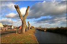 SK5435 : Newly pollarded willows beside the Beeston Canal by David Lally
