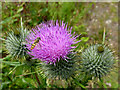 SN7067 : Thistle flower with hoverfly near Ystradmeurig, Ceredigion by Roger  Kidd