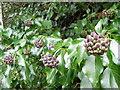 SU0625 : Ivy berries, Bishopstone by Maigheach-gheal