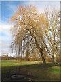 TM4190 : Winter Willow by Roger Jones