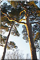 TQ3331 : Scots Pine, winter light, Wakehurst Place by Christopher Hilton