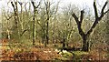 SO7637 : Woodland on Midsummer Hill by Richard Webb
