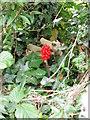 ST5412 : Cuckoo pint, East Coker by Maigheach-gheal