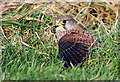 NT8136 : A kestrel on the ground by Walter Baxter