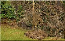 J4681 : Leafless trees, Crawfordsburn by Albert Bridge