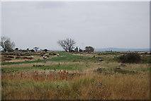 TQ7178 : Sheep and munition factory ruins. by N Chadwick