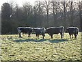 NY9365 : Longhorn bullocks at Acomb by Oliver Dixon