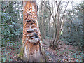 TQ4878 : Green Man in Lesnes Abbey Woods by Stephen Craven