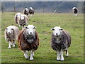 SU1124 : Herdwick sheep, Coombe Bissett Down by Maigheach-gheal