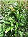 SY5889 : Harts-tongue Fern, Littlebredy by Maigheach-gheal