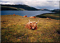 NC4756 : Loch Hope and Highland Cattle by Peter Bond