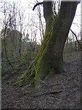 SJ9594 : Tree bottom by Gerald England