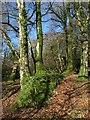 ST1401 : Trees on bank, lane up St Cyres' Hill by Derek Harper
