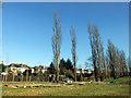TQ3095 : Poplar Trees, Oakwood Park, London N14 by Christine Matthews