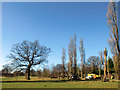 TQ3095 : Felling of Poplar Trees, Oakwood Park, London N14 by Christine Matthews