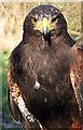NZ2575 : Hetty the Harris Hawk by Christine Westerback