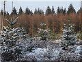 TQ0549 : Christmas Tree Plantation, Newlands Corner by Colin Smith