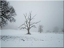 TL8162 : Lone tree in Ickworth Park by Bob Jones