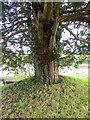 SU1226 : Yew tree, Homington by Maigheach-gheal