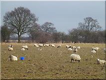 TF9331 : Pregnant mothers near Fakenham by Richard Humphrey
