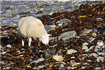 HP5605 : Shetland sheep feeding on seaweed on Westing beach by Mike Pennington