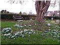 ST7818 : Snowdrops, Marnhull by Maigheach-gheal