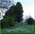 ST7818 : Snowdrops, St Gregory's Churchyard by Maigheach-gheal