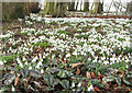 TA1063 : Carpet of snowdrops by Pauline E