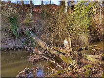 SJ8382 : Fallen Tree, River Bollin by David Dixon