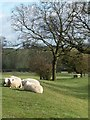 SK2638 : Sheep grazing near Lees Green by Christine Johnstone