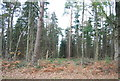 TQ2732 : Conifers, Tilgate Forest by N Chadwick