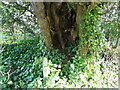 ST9513 : Yew tree, St Mary's Church by Maigheach-gheal